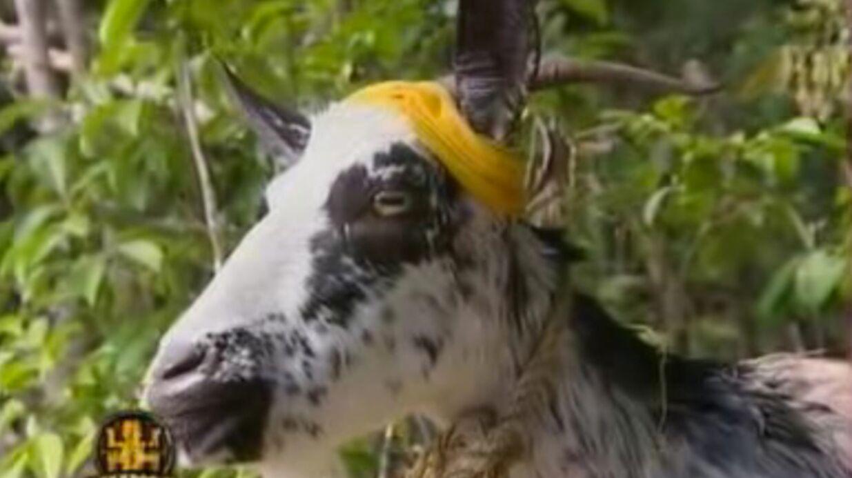 Interview exclu: On a retrouvé Germaine, la chèvre de Koh-Lanta