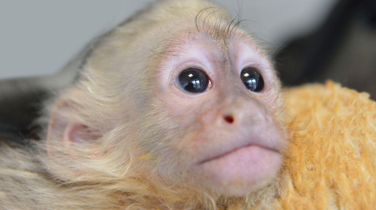 Justin Bieber abandonne son petit singe en Allemagne