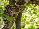Honduras La forêt d'émeraude, repaire de félins