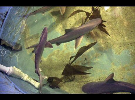 Insolite La police perquisitionne une maison et tombe sur 10 requins! (vidéo)